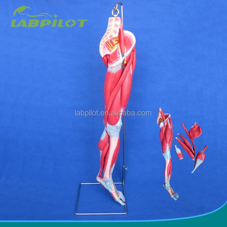 10 Parts Detachable Anatomical Muscles Of Leg Model,Lower Limb Model ...