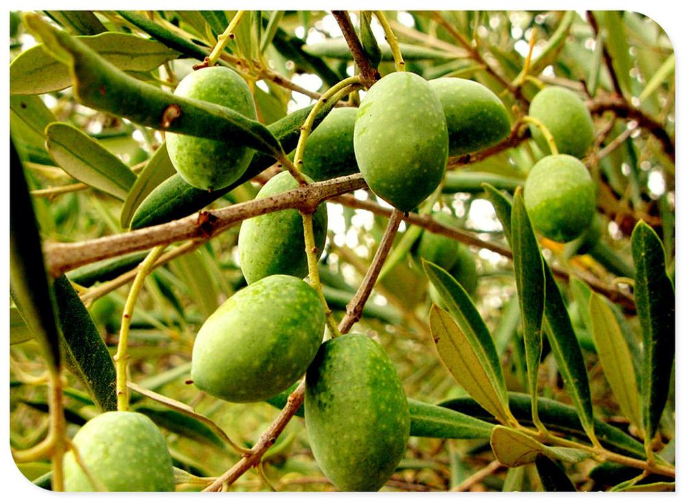 High Quality Olive Fruit Extract Powder Oleuropein 18% ,Olive Leaf
