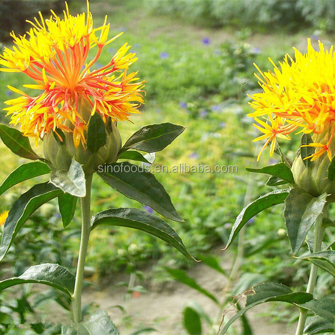 Grade aa+ organic chinese herb seed / best price safflower seeds