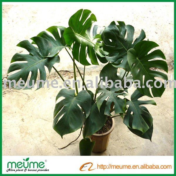 Filodendro plantas tropicales plantas le osas - Plantas tropicales interior ...