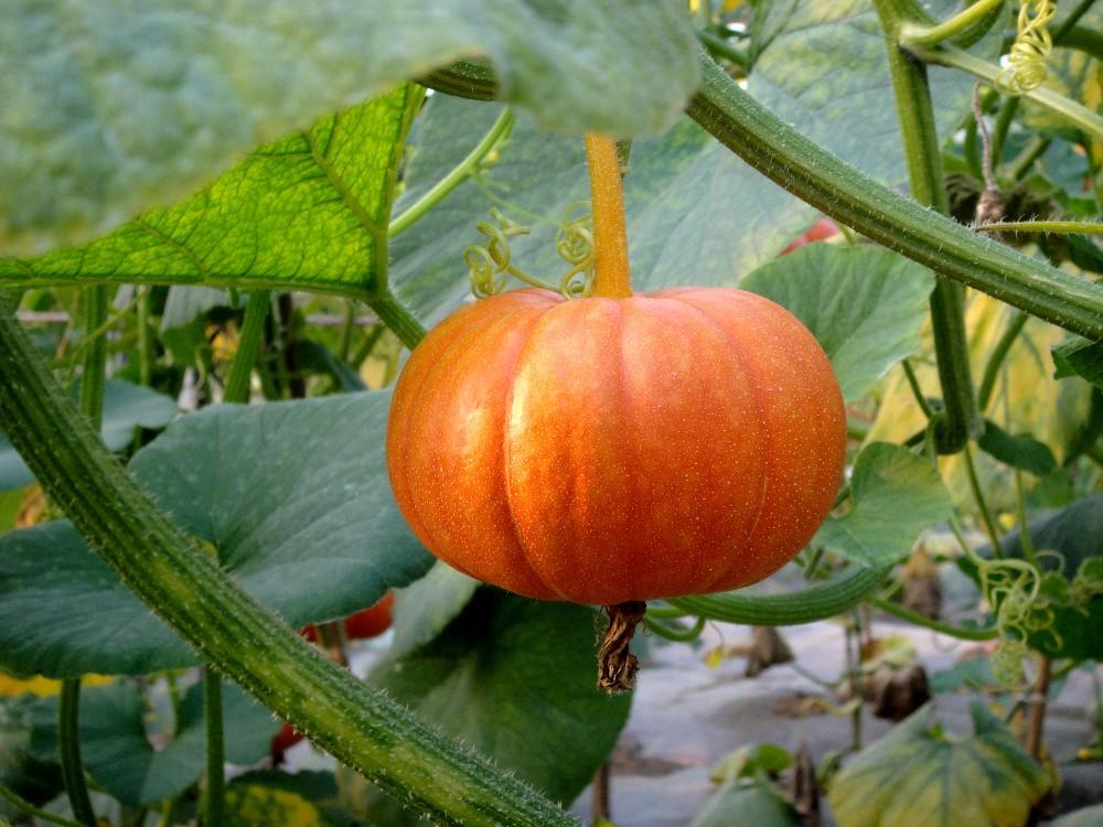 Pumpkin Seed Vegetable Oil Buy Pumpkin Seed Vegetable