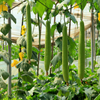 F1 Hybrid sponge gourd seeds for cultivating, luffa seeds