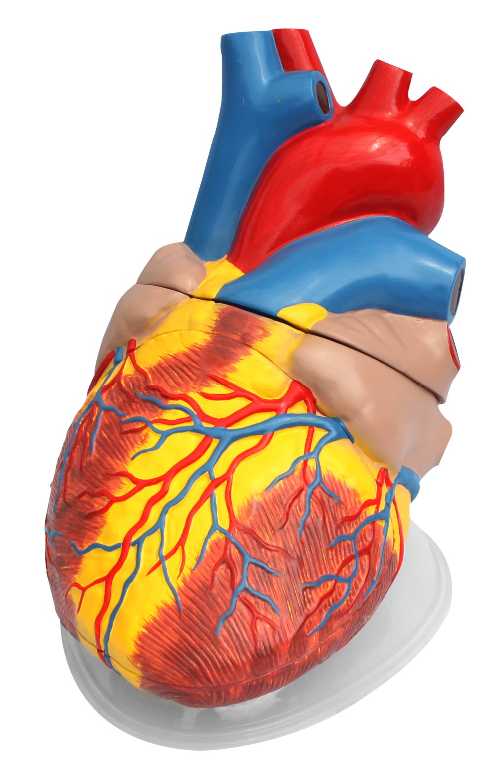 Pvc 5times Of Lize Size Anatomical Human Heart Model - Buy Anatomical  Model,Human Heart,Medical Model Product on Alibaba com