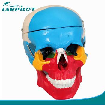 Abnehmbare Schädel Modell,Knochen Modell Von Zerebrale Cranium - Buy ...