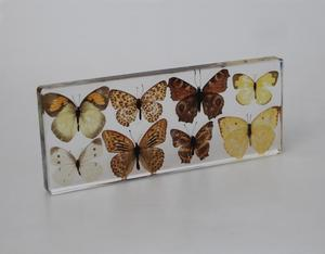Wholesale 8 Real Nature Butterfly Specimens for Biological Study
