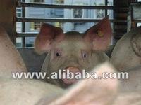 Live pigs, live animals