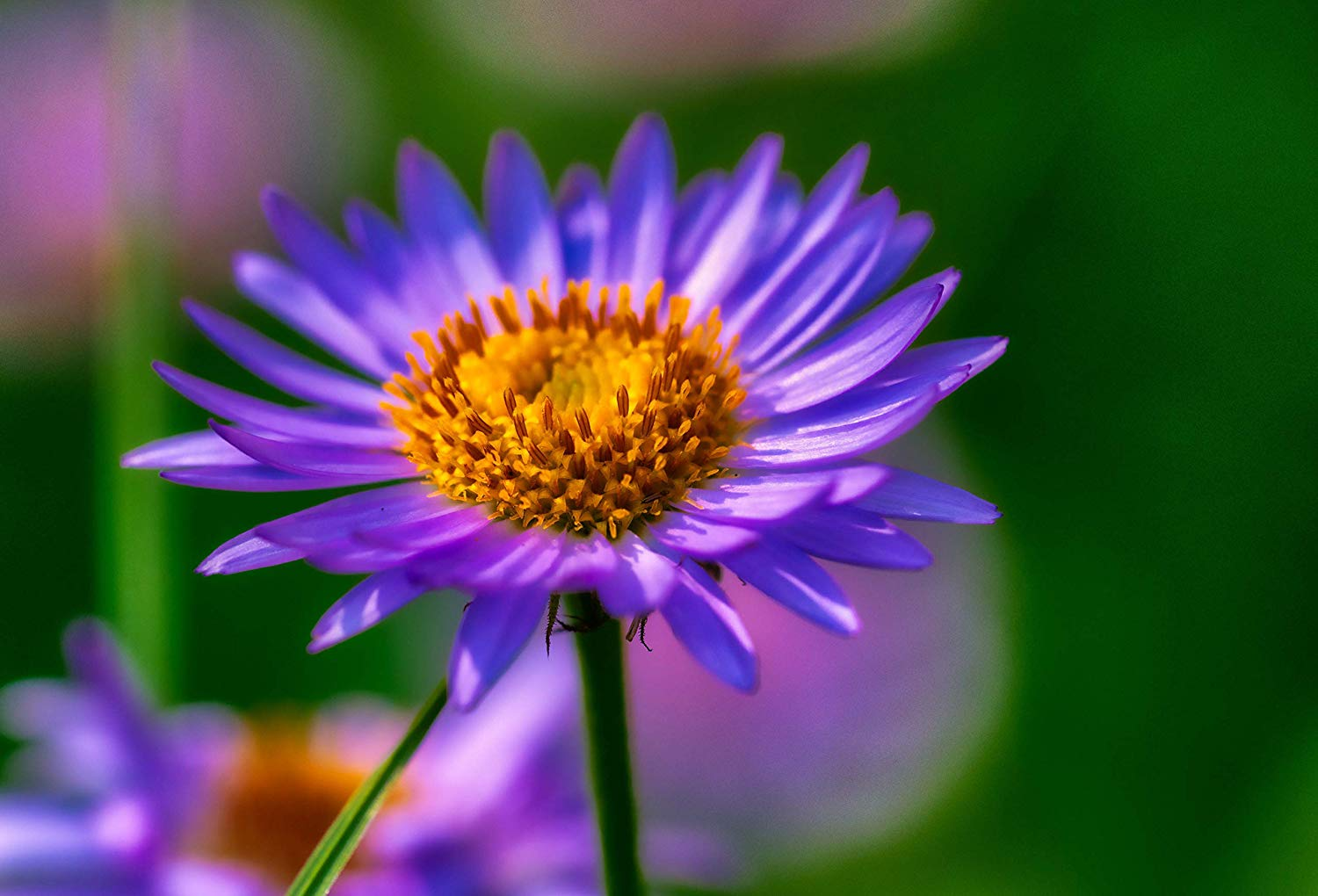This Fine Art Color Landscape Photo of a purple daisy in the Wyoming Mountains is Available in Print Sizes up to 44x66 inches is Perfect for Home or Office Decoration, Wall Art, Wall Décor