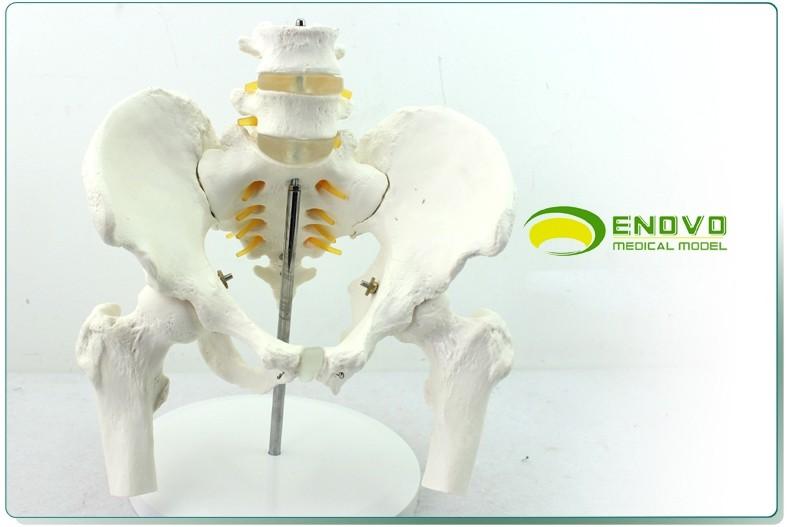 Pelvis01 (12338) Anatomía Médica Tamaño Pélvico Modelo Esqueleto Con ...