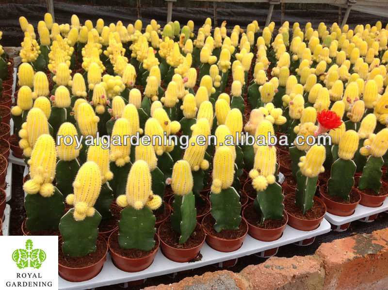 Cacti In 5 5cm Pot Nursery