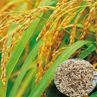 Shui dao New arrival natural Chinese paddy rice seeds for plant