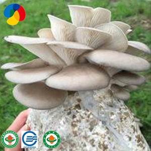 Oyster Mushroom Spawn, Oyster Mushroom Spawn Suppliers and