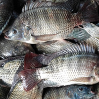 Supplier Of Tilapia Bream 200-300g Frozen Fish Nile Whole Sale ...