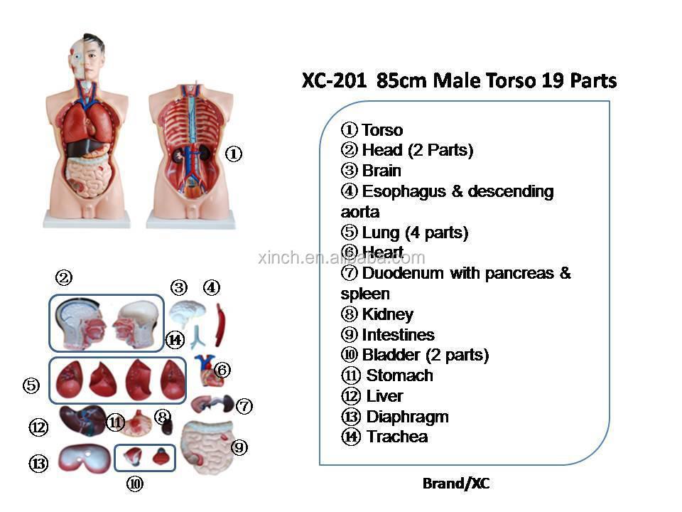 85cm Männer Menschlichen Körper Anatomie Modell Mit 19 Teile - Buy ...