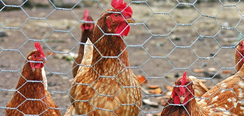 Cheap High Standard Livestock Chicken Wire Netting - Buy Chicken ...