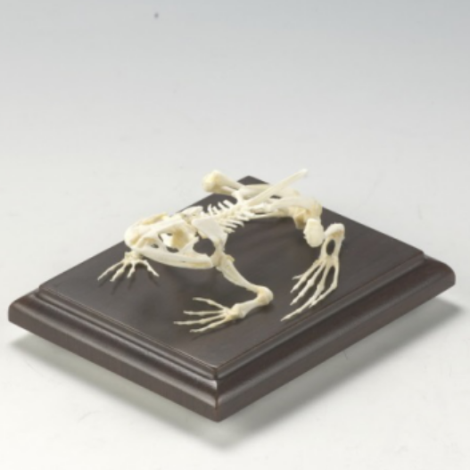 HM-BD-253 TOAD SKELETON NATURAL BONE MODEL TOAD SKELETON MODEL ANATOMICA TOAD SKELETON MODEL