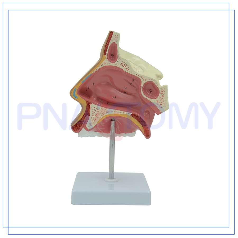 Pnt 0436 Customized Plastic Nasal Cavity And Mouth Sigital Section