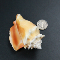 low price ocean craft wholesale sea shells Natural seashells for decorations