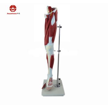 Hm-bd-148 Humanos Músculo Del Muslo Modelo Músculo Humano Anatomía ...