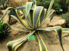 Natural plants Agave americana var marginta for sale