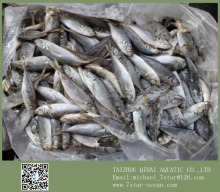 Whole Round Frozen Seafood Horse Mackerel Fish Benefits 10kg 8cm+