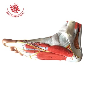 Hierarchical anatomy of the plantar muscle foot model
