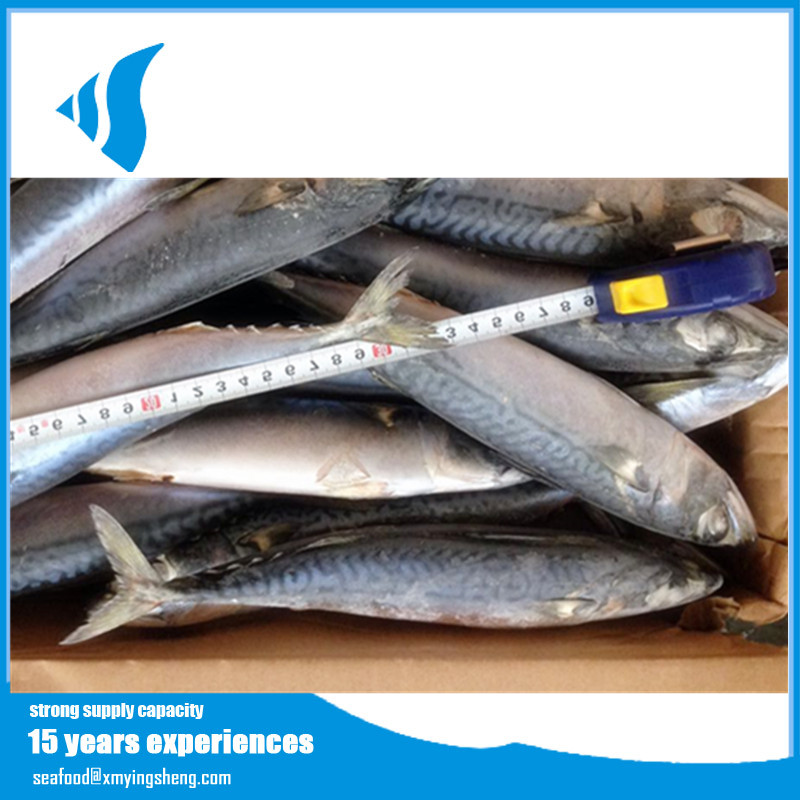 New Catching Frozen Whole Fresh Pacific Mackerel Fish Seafish trading