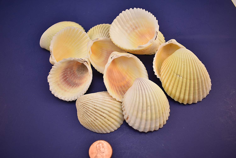 "50 Select Yellow / Purple Cockle Shells 1""-2 1/4"" Crafts Beach Wedding Nautical Decor"