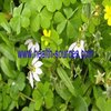 Natural plant extract powder, Chinese Lobelia herb extract 10:1