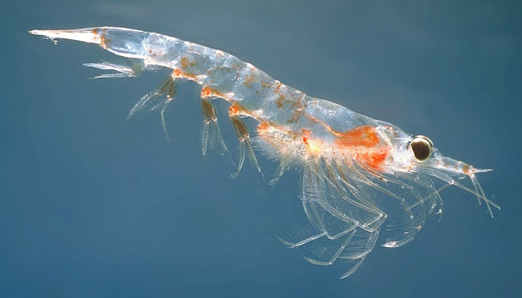Japanese Factory Krill Oil Supplement