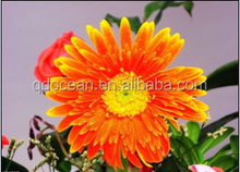 Hot sale & hot cake high quality Chrysanthemum Flowers with reasonable price and fast delivery !!!