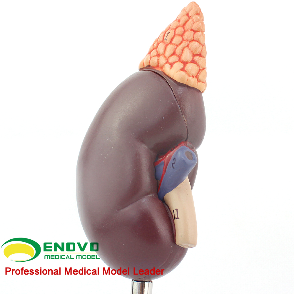 Perfecto Modelo De Anatomía Renal Colección - Anatomía de Las ...