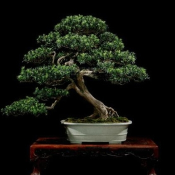 Landscaping Podocarpus Bonsai Tree - Buy Mini Indoor Bonsai Tree,Green  Foliage,Subtropic/tropic Tree Product on Alibaba com