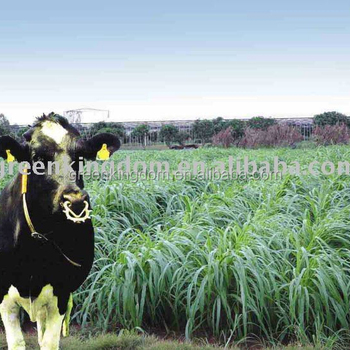 Livestock Favored High Quality Pennisetum of America Seeds