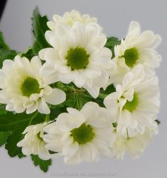2017 new arrival flowers small chrysanthemum white for sale buy 2017 new arrival flowers small chrysanthemum white for sale mightylinksfo