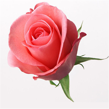 beautiful rose flowers named movie star for wedding decoration&home decoration