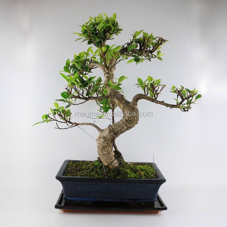 Pequenas plantas de interior bonsai banyan ficus plantas - Plantas pequenas de interior ...