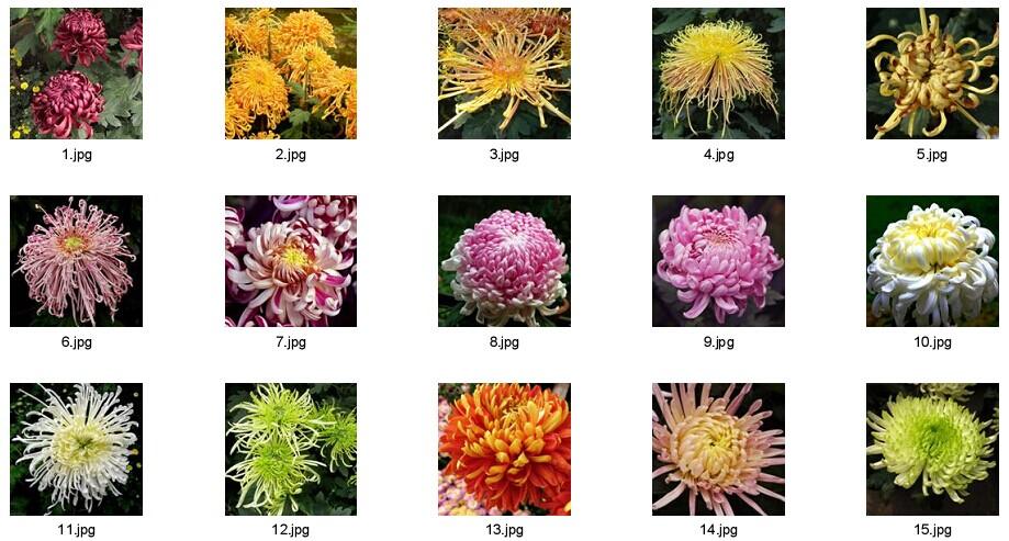 Chrysanthemum Seeds For Gardening Flower Pot Flower Seeds