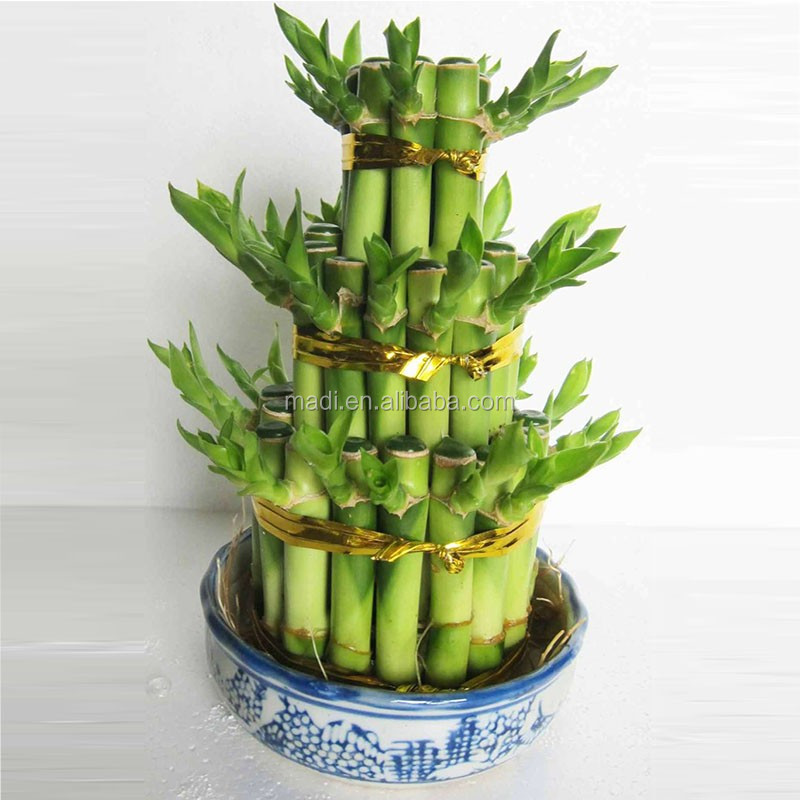 Lucky Bamboo Indoor Plants, Lucky Bamboo Indoor Plants Suppliers And  Manufacturers At Alibaba.com