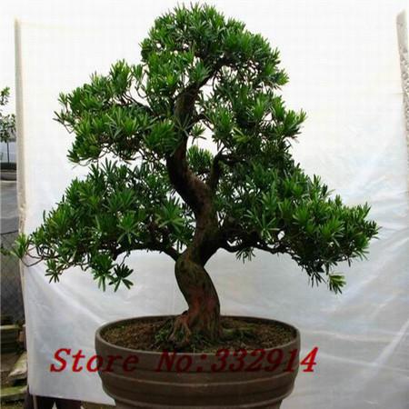 Bonsai Voor Binnen.Garden Comfort Tuinmeubelen Podocarpus Bonsai Kopen