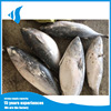 1.5kg up Frozen pacific bonito tuna fresh bonito fish for sale