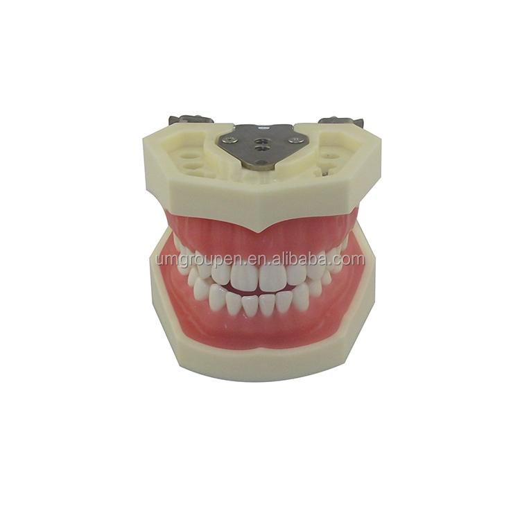 China Teeth Anatomy Wholesale Alibaba