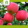 high quality fresh fuji apple for sale