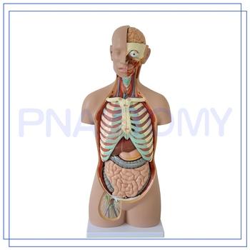 Pnt-0311 85 Cm Menschlichen Kopf Hals Torso Modell 3d Anatomie ...
