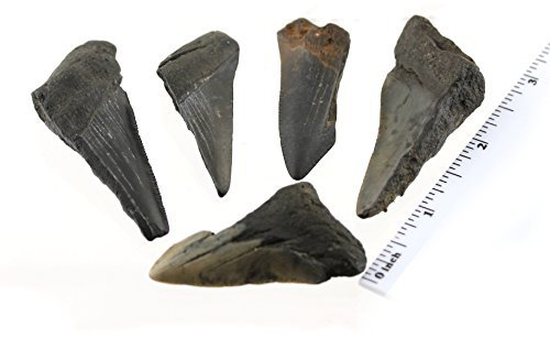 Megalodon Fossil Shark Teeth - 5 Pieces of Medium Size (1.5 to 2.5 Inch) Fragments