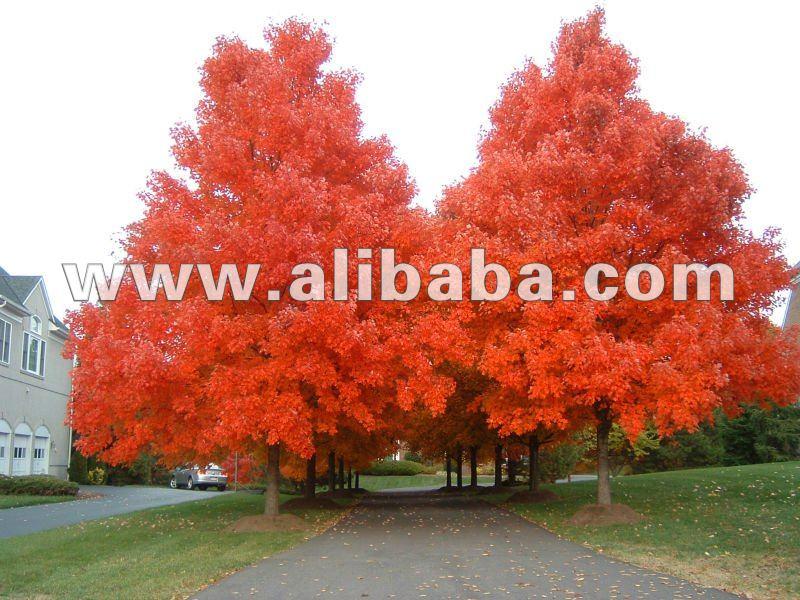 Alberi di acero rosso piante boscose id prodotto 127755883 for Acero rosso canadese prezzo