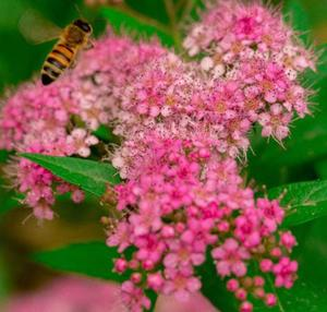 Spiraea Seeds Top Grade High Quality Wholesale Spot Supply Meadow Sweets Seeds