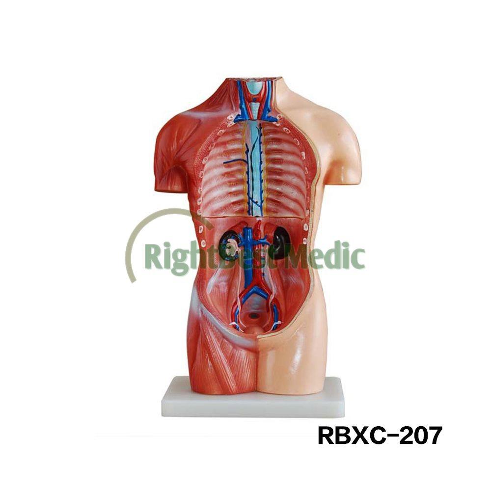 42cm 18 Parts Human Anatomy Sexless Torso Model Buy Human