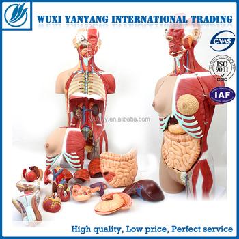 Human Anatomy Models--human Torso With Interchangeable Sex Organs ...