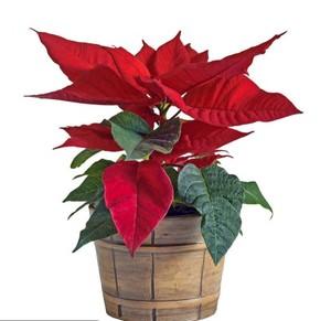 Natural plants type red flower Euphorbia pulcherrima Willd  et Kl
