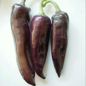 rare variety purple chili pepper seeds for growing